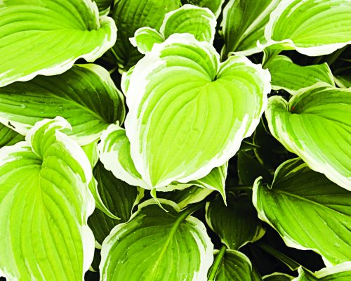 Hosta Silver Crown