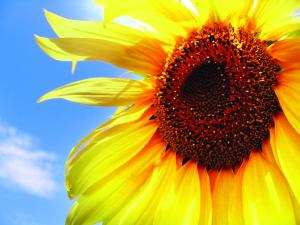 Sun_Day_Flower_1363