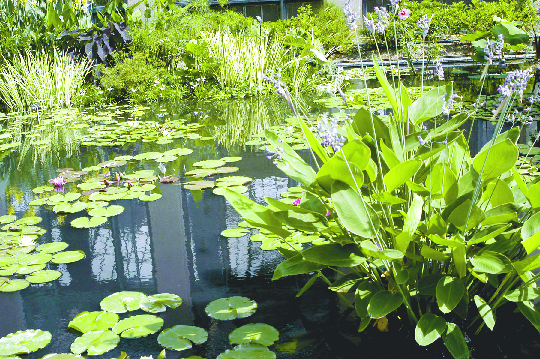 Whitney s farm market and garden center berkshire county for Best aquatic plants