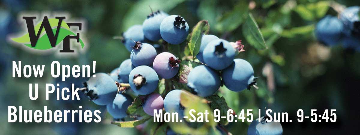 upick-blueberries